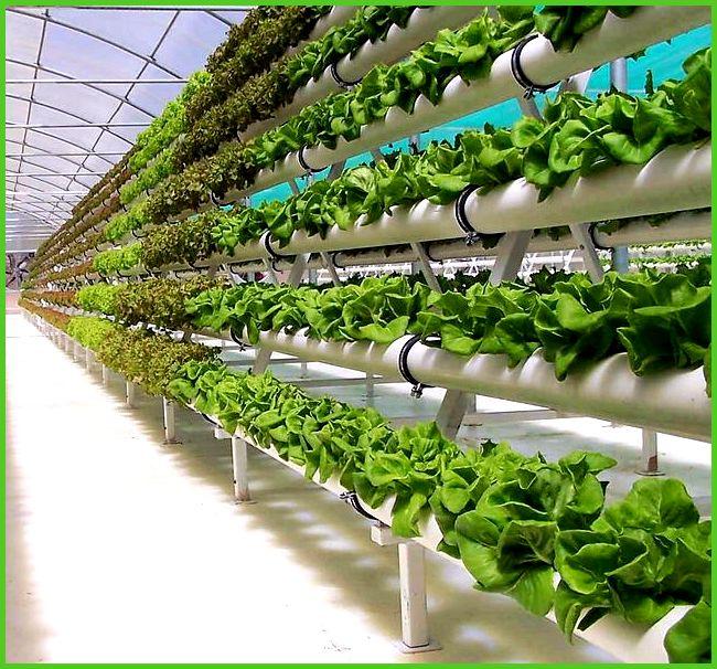 именно Технология выращивания зелени куруглогодично любое
