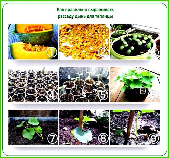 Как садить арбузы и дыни на рассаду 55