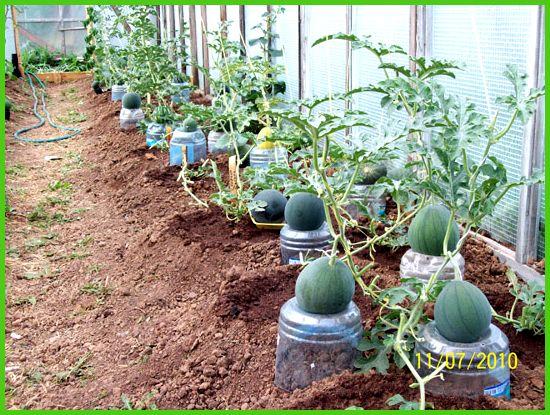 Можно ли сажать кукурузу рядом с арбузами 6