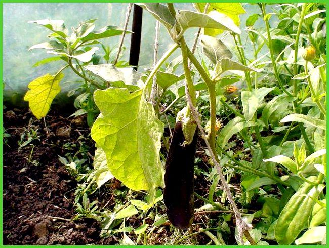 Баклажаны уход и выращивание в теплице формирование