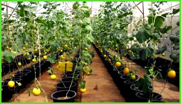 Сорта дыни для выращивания в сибири 4