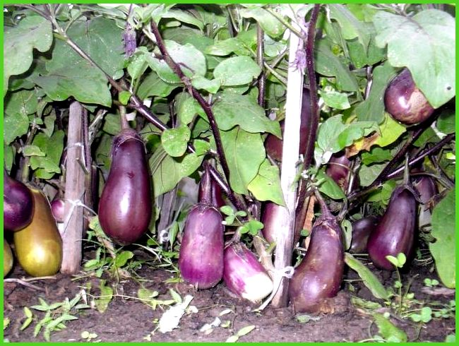 Как выращивать правильно томаты в теплице