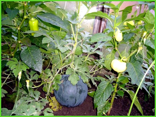 Можно ли помидоры сажать вместе с перцами 855