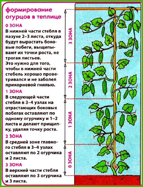 Особенности выращивания огурцов в теплице 16