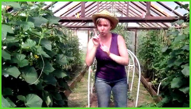 Можно ли сажать кукурузу рядом с арбузами 11