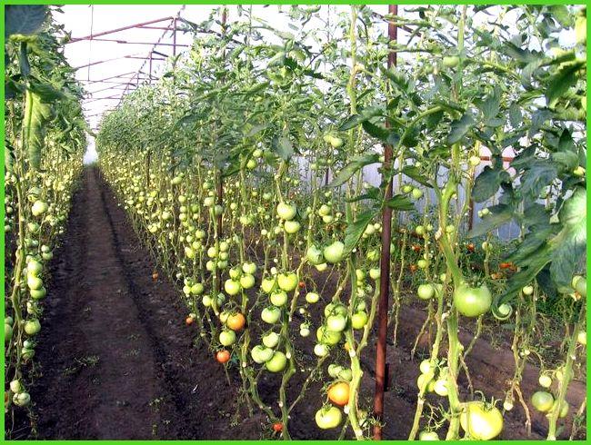 Как сажать помидоры в теплице и когда это делать?