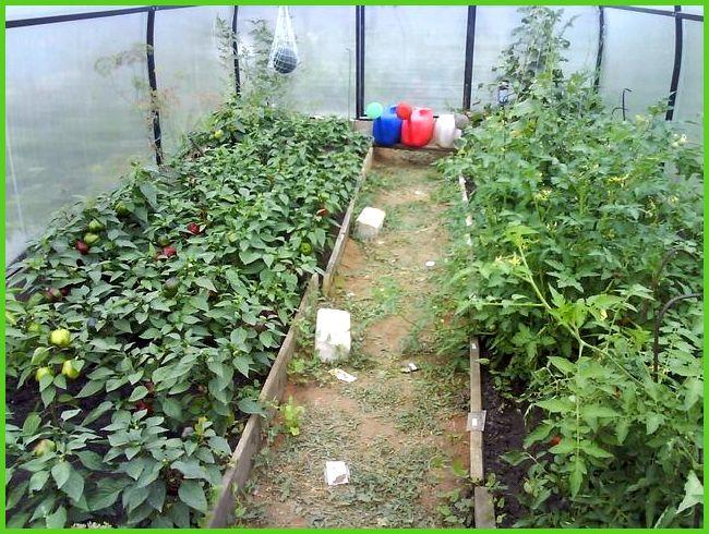 Можно ли помидоры сажать вместе с перцами 468