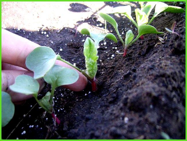 Как сажать семена редиски правильно 85