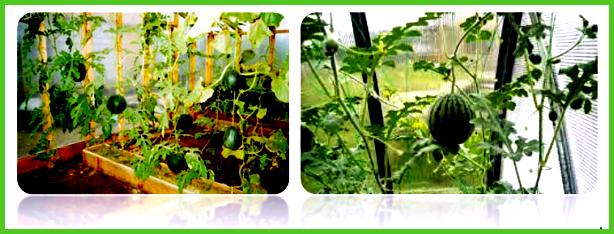 Выращивание арбузов и дынь в теплице строительный портал.