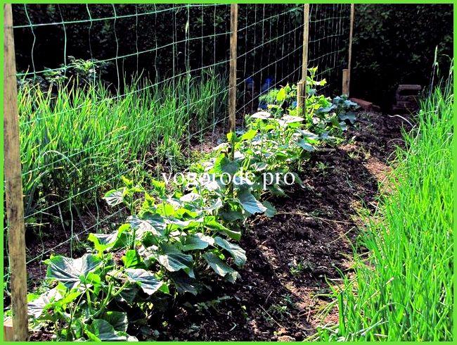 Выращивание огурцов в грунте в подмосковье 15