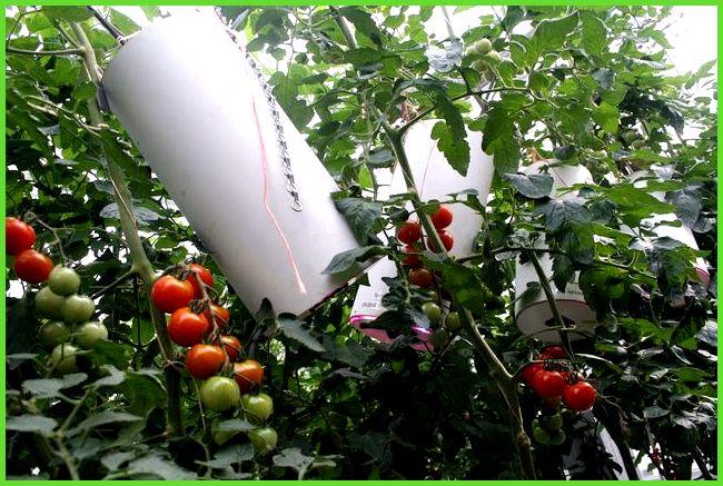 Видео выращивание томата в теплице