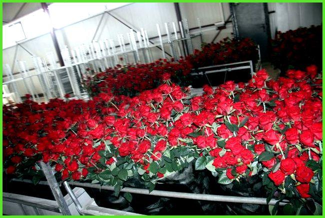 Выращивание роз в подмосковье 92