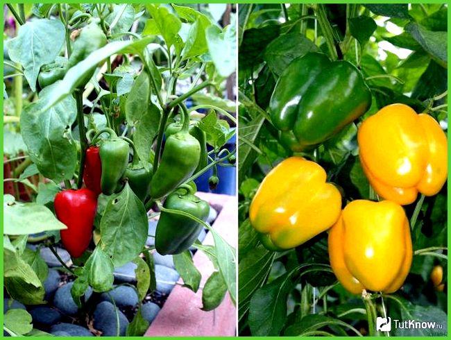 Красный болгарский перец выращивание 84