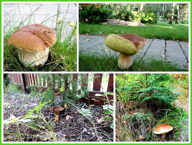 Когда сажать белый гриб