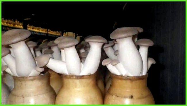 Выращивание грибов на дому белый гриб 95