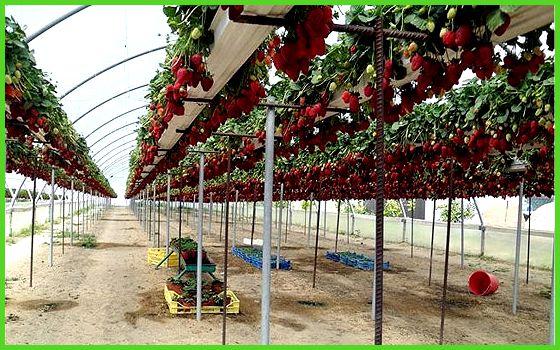 Современные методы выращивания земляники 24