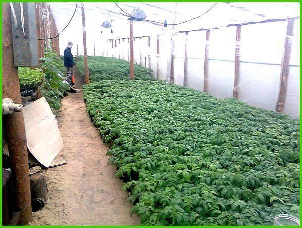 Выращивание рассады помидор на продажу