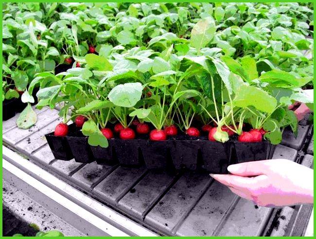 Выращивание морковки в теплице 36