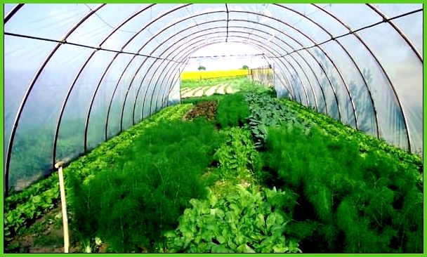 Род теплицы для выращивания овощей плодов и ранней зелени 45