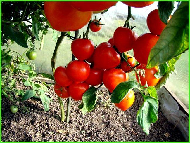 Черри томаты уход в теплице