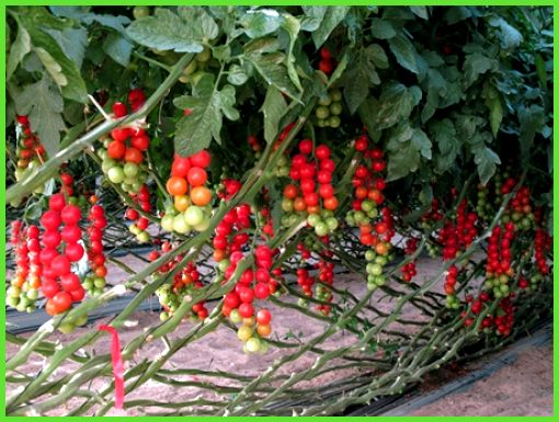 Выращивание томатов черри в теплицах 47