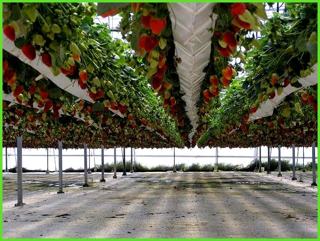 Промышленная теплица для выращивания клубники 847