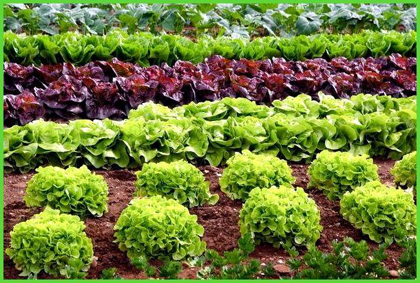 Выращивание салатов и их сорта 798