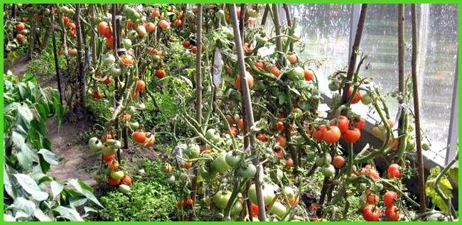 Технология выращивания помидоров в открытом грунте на Урале 69