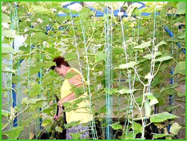 Использование сетки в выращивании огурцов 33