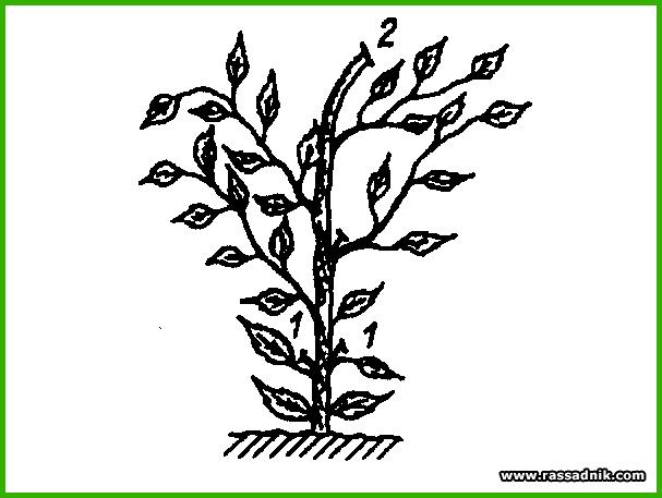 Перец выращивание и формирование куста