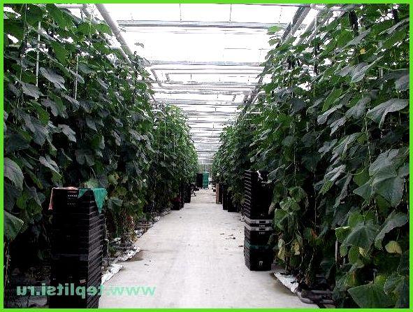 Технология выращивания огурца в теплице 77
