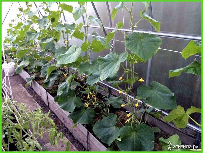 Современная технология выращивания огурцов в теплице 74