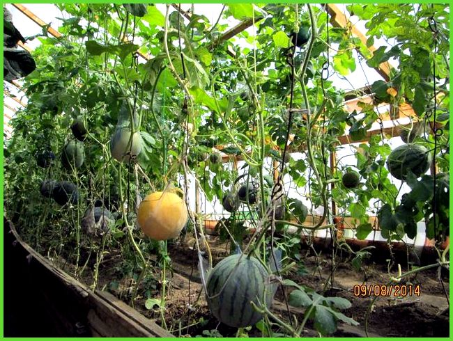 Выращивание овощи дома 34