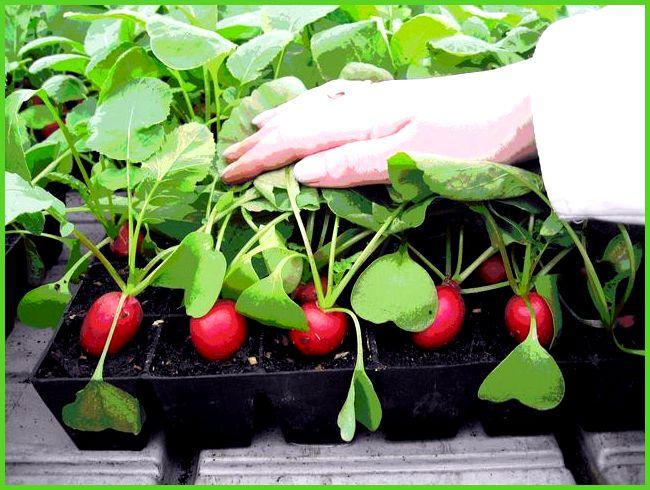 Редис агротехника выращивания в теплице 8