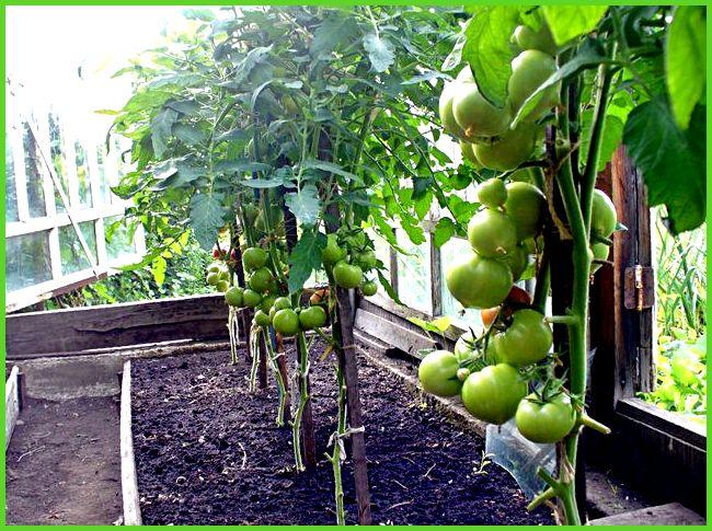 Можно ли рядом сажать помидоры и перцы 59