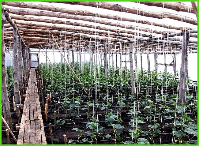 Выращивание огурцов в зимней теплице как бизнес 52