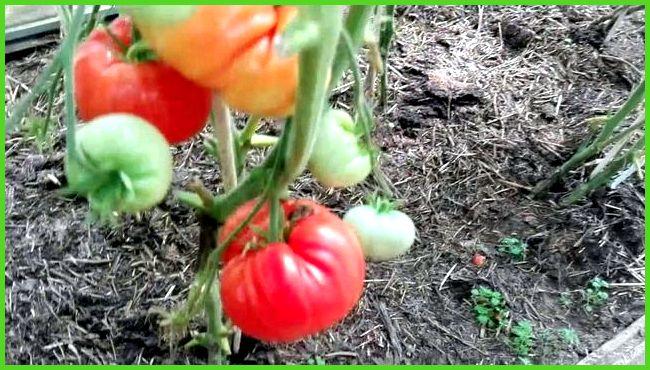 Сорта томатов для теплиц с фото и описанием