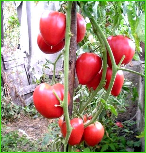 Томаты чудо земли выращивание отзывы 4