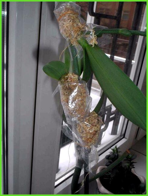 Антуриум не растет, как заставить его расти? 2