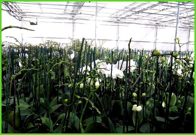 Выращивание каллы в теплице круглый год 71