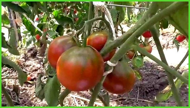 Выращивание помидор черный принц 88