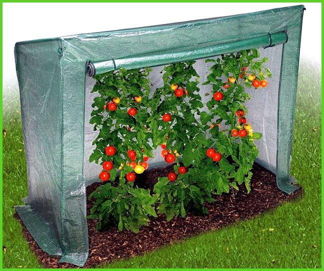 Выращивание помидоров под пленкой 8