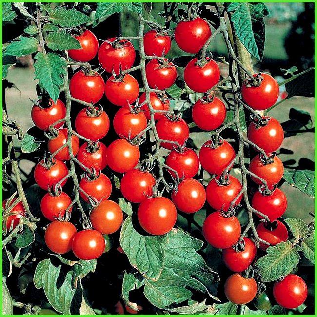 Выращивание детерминантных помидор - формирование и 83