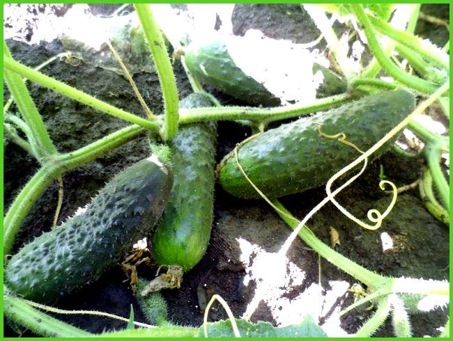 Огурец Мурашка F1: отзывы, описание сорта. Советы огородников