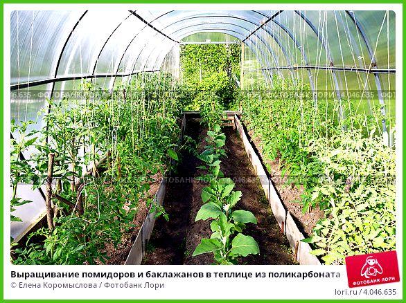 Посадка и выращивание баклажанов в теплице 50