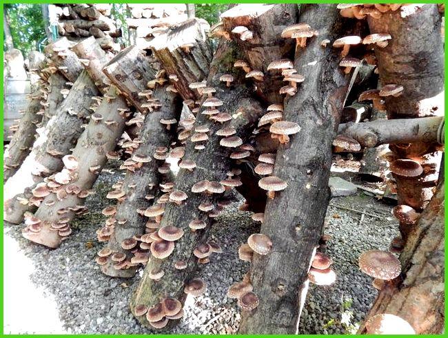 Выращивание грибов в теплице - Всё про теплицы