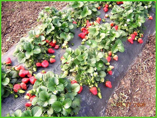 Клубника клери выращивание в теплице 4