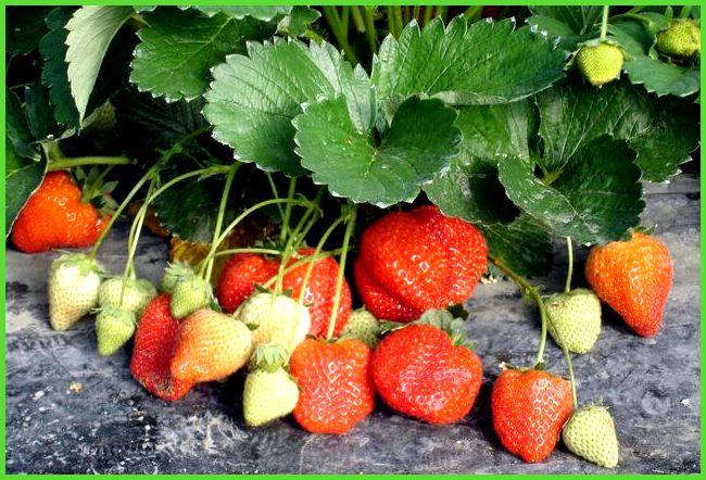 Клубника в теплице круглый год – сорта и технология выращивания