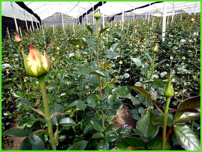 Выращивание в теплице лилии 67