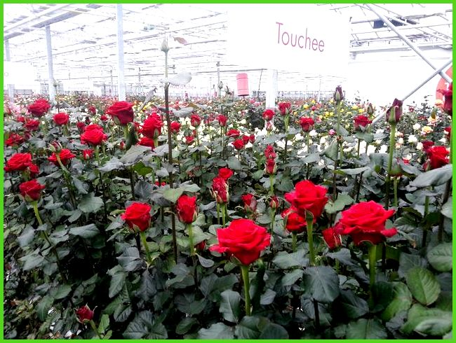 Голландские розы как сажать 1